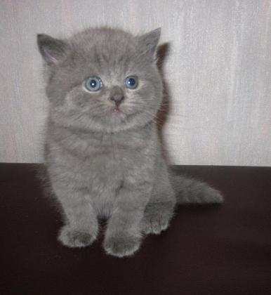Cute Little Female British Shorthair Kitten