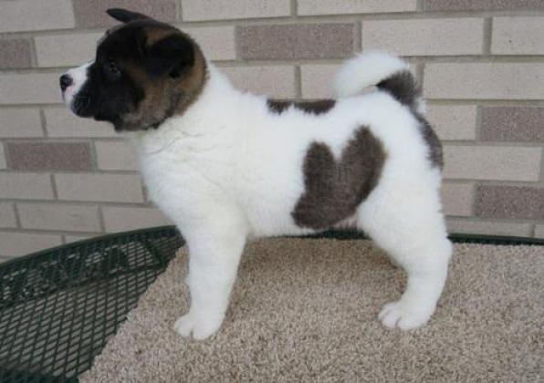 Both American and Japanese Akita puppies