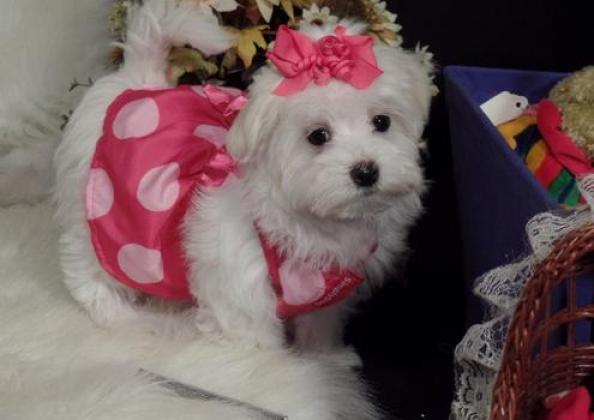 Gorgeous Kusa Registered Miniature Maltese puppies
