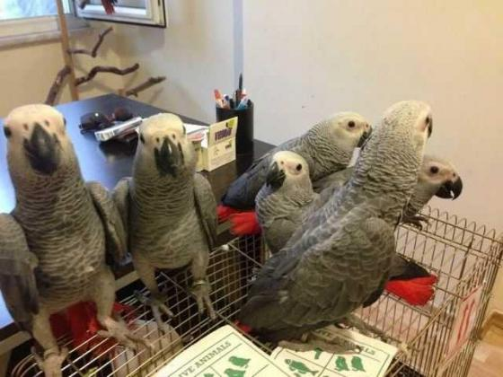Hand raised quality, large vocabulary  Parrots and fertile eggs for sale