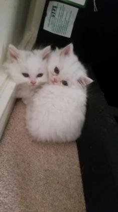 healthy persian kittens