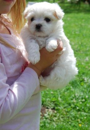 Healthy Teacup Maltese Puppies