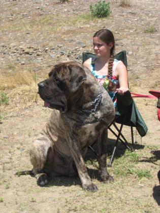 Huge KUSA English Mastiff Puppies