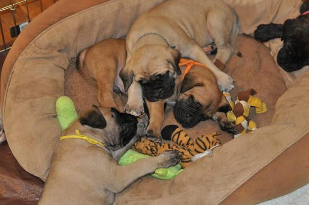 Huge KUSA English Mastiff Puppies