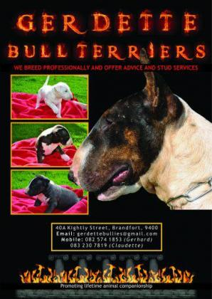 KUSA Registered Bull Terrier Puppies for Sale to Good Homes