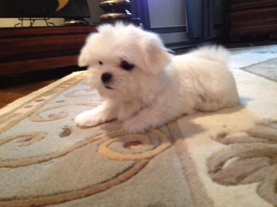 Meet Teacup Maltese puppies