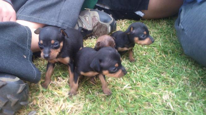 Miniature doberman pinscher Puppies