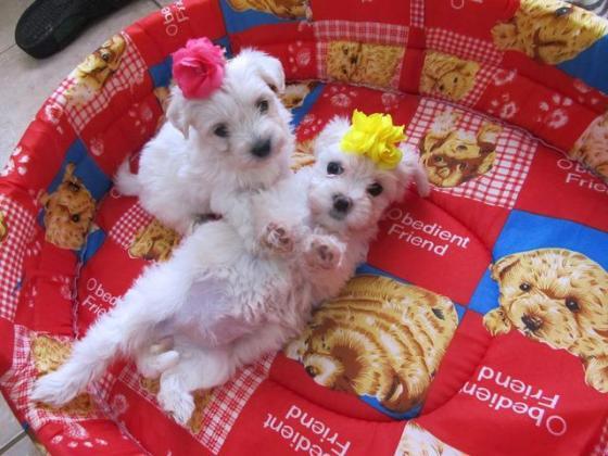 Miniature Maltese puppies