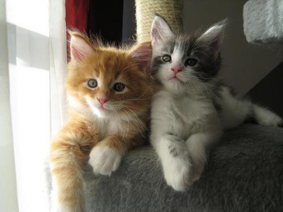 Require Maine Coon, Birman or Ojos Azules Kitten