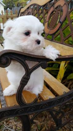 Teacup Maltese Puppies