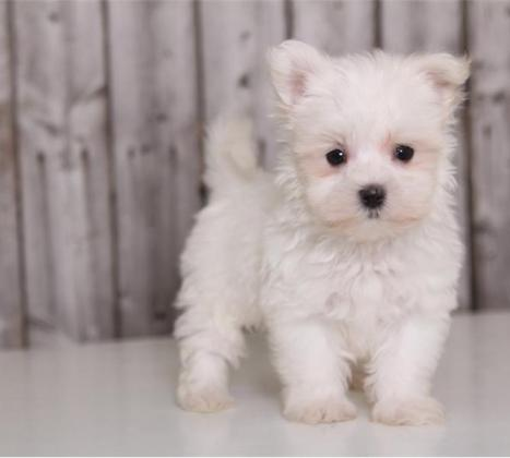 Teacup Maltese Puppies Ready to go now