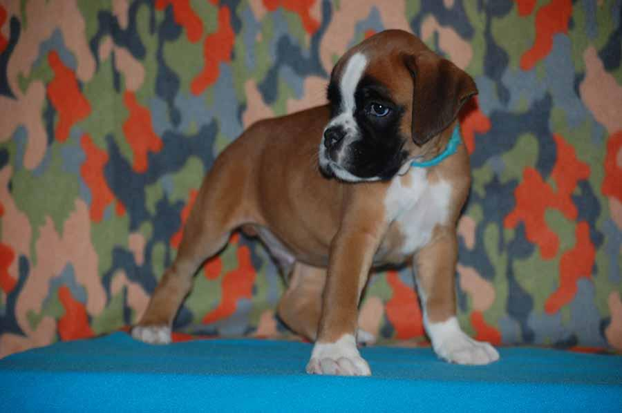 Boxer Puppies 8 weeks old available for new homes ...