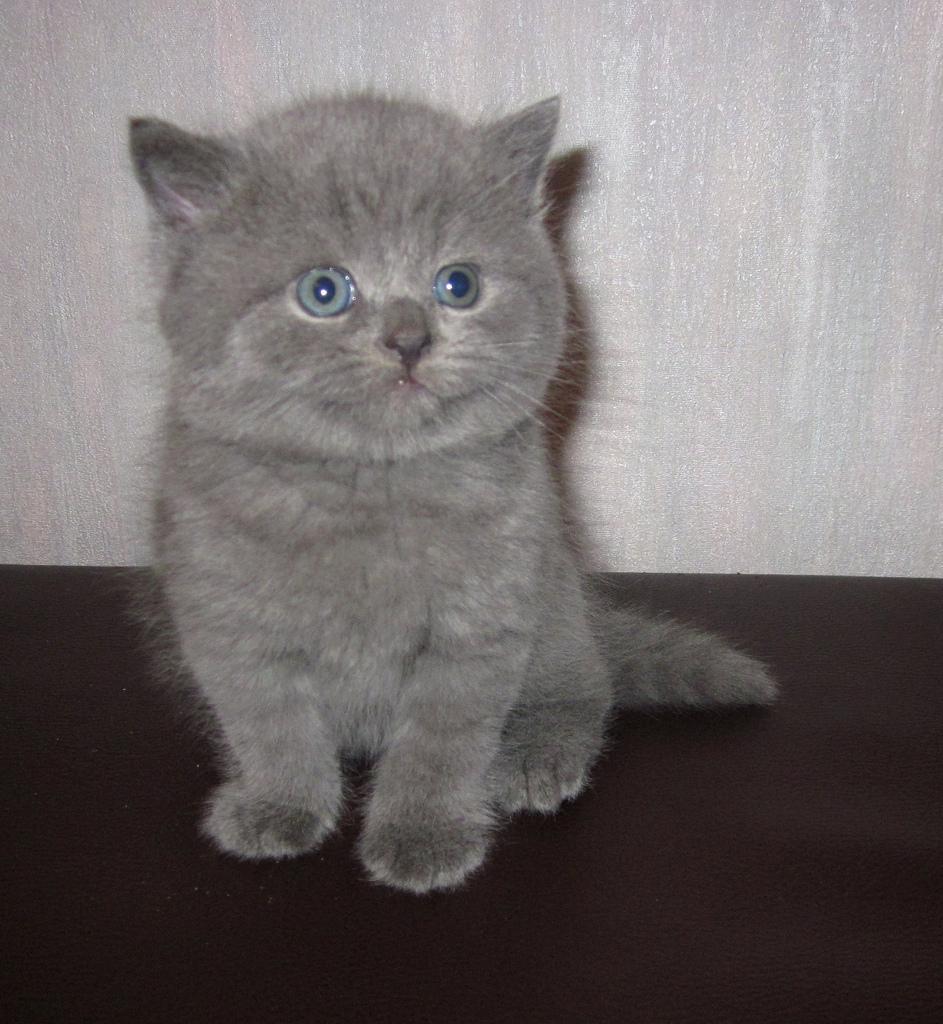 Cute Little Female British Shorthair Kitten in Harrismith