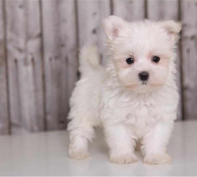 Micro Teacup Maltese Puppies For Sale In South Africa