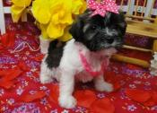 Awesome Havanese puppies (8 weeks old)