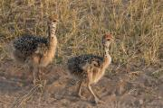 Amazing beautiful Ostrich chicks and fertile eggs Ready Now