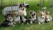 Amazing Pembroke Welsh Corgi puppies