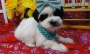 Awesome Havanese puppies (8 weeks old)
