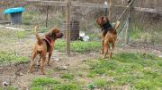 Excellent tracking Bloodhound puppies