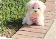 Gorgeous Kusa Registered Miniature Maltese puppies