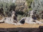 Great Dane puppies - 14 weeks old