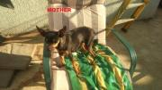 Miniature doberman pinscher Puppies