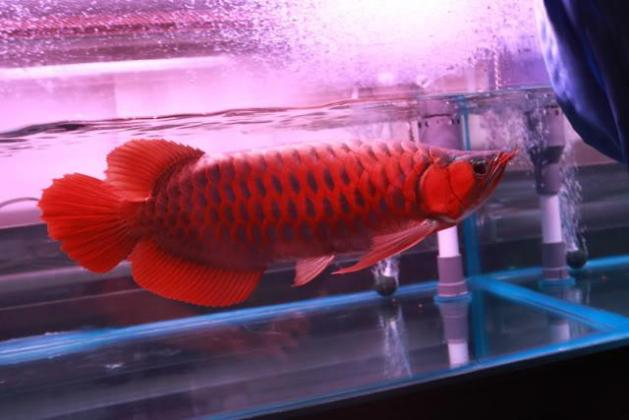 Asian red chilli red 24K golden aroana fish available at good prices. in Johannesburg, Gauteng