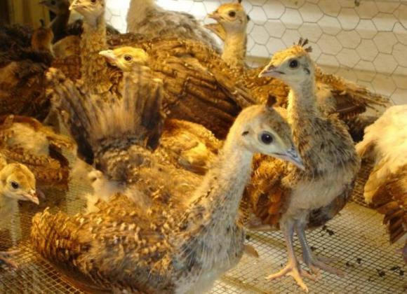 Peacocks and Peahen Pairs Available for Sale in Potchefstroom, North West