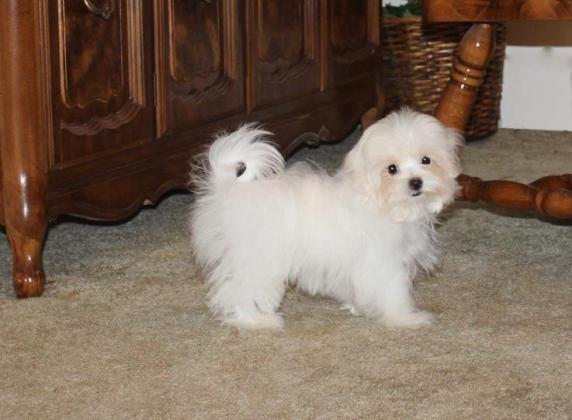 Beautiful Maltese Puppies Available in Cape Town, Western Cape