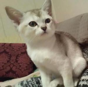 Burmilla Kitten for sale