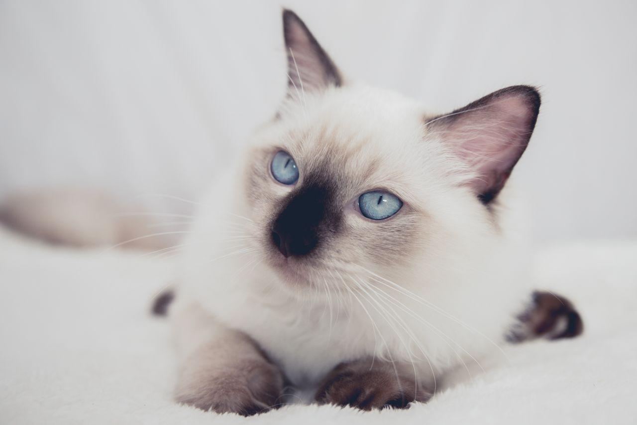 ragdoll kittens for sale | East London | Public Ads South Africa