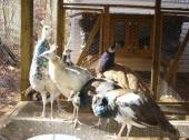 Peacocks and Peahen Pairs Available for Sale