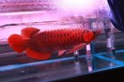 Asian red chilli red 24K golden aroana fish available at good prices.