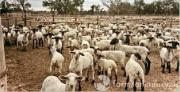 Healthy goats and sheeps