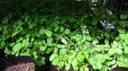Moringa Oleifera (Miracle tree) seedlings for sale