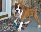 Stunning Boxer Puppies Available