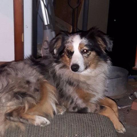 Australian Shepherd Puppies For Sale | Chatsworth | Public ...