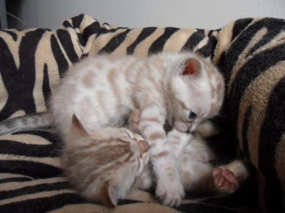Adorable Snow Bengal kittens Available For Sale