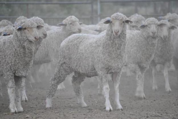Moreno Sheep Goats for Sales