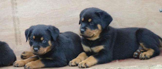 Amazing And Active Rottweiler Puppies Looking For Their Forever Homes
