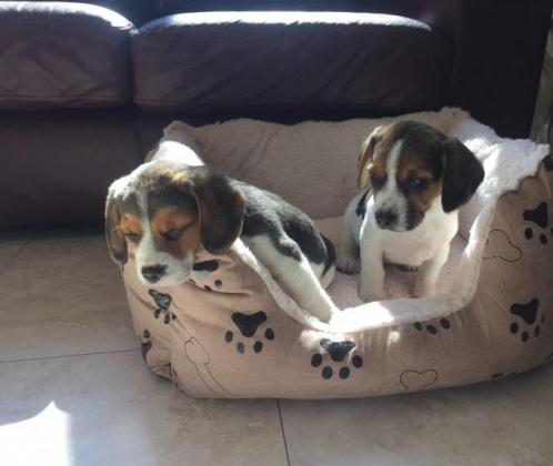 Beagle Puppies in East London, Eastern Cape