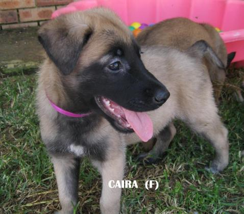 BELGIAN SHEPHERD MALINOIS PUPPIES FOR SALE