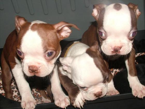 Boston Terrier Puppies in Bloemfontein, Free State