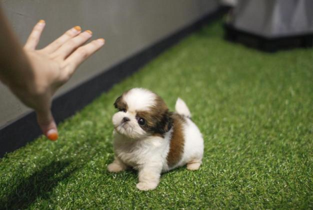 Cute Shih Tzu Puppies for sale