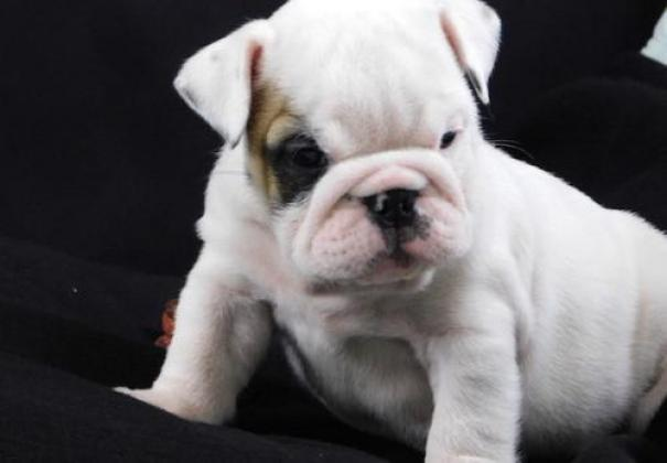 English Bull Dog Puppies in Polokwane, Limpopo
