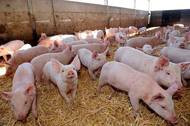 Land Raised Pigs and Piglets For Sale