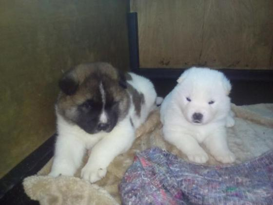 Stunning Akita Puppies in Bethlehem, Free State