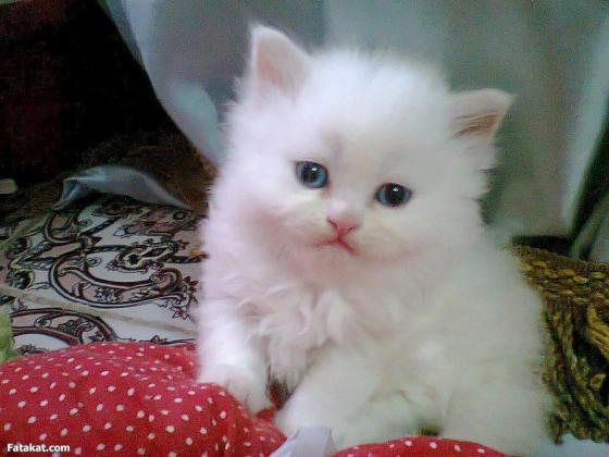 Persian Kittens Looking For Their Forever Home