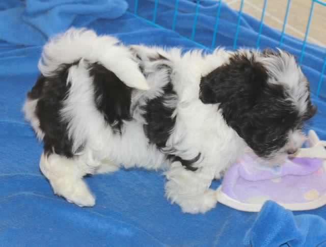 Small Chocolate And White Havanese Puppies For Sale!! | Port