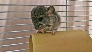 Chinchilla baby male